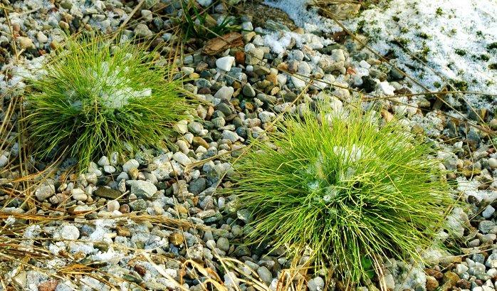 http://trawki.pl/images/trawy/festuca_golden_toupee_w_zimie.jpg